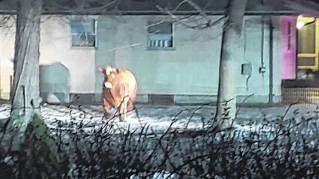 A cow that escaped on Feb. 4 is shown in Johnston, R.I., as it was being unloaded at a slaughterhouse. Weeks after escaping, the steer was finally captured unharmed in Johnston by its owner on March 26 and returned to a Connecticut farm. (Adam Seaberg via AP, File)