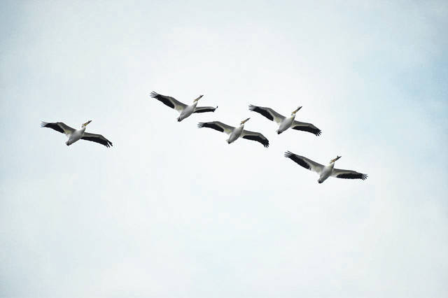Five white pelicans fly recently above the Ottawa National Wildlife Refuge located near Oak Harbor.