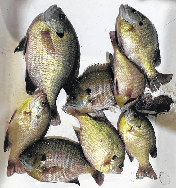 May is the prime month for panfishing for species like bluegills and crappie. A mess of gills like these make great table fare.