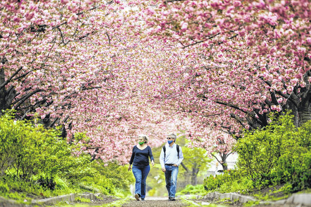 People wearing face masks as a precaution against COVID-19 walk beneath blossoming cherry trees April 14 along Columbus Boulevard in Philadelphia.