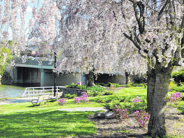 The nine weeping cherry trees given to Lima by Harima-Cho, Japan, are in bloom in Lima. A picnic at the Lima Sister Cities Association Japanese Garden, at the corner of Elizabeth and Eureka streets, is 1 to 3 p.m. Saturday.