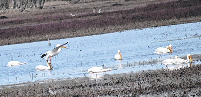 A white pelican comes in for a landing to join other pelicans in a water area of Ottawa National Wildlife Refuge, located near Oak Harbor.