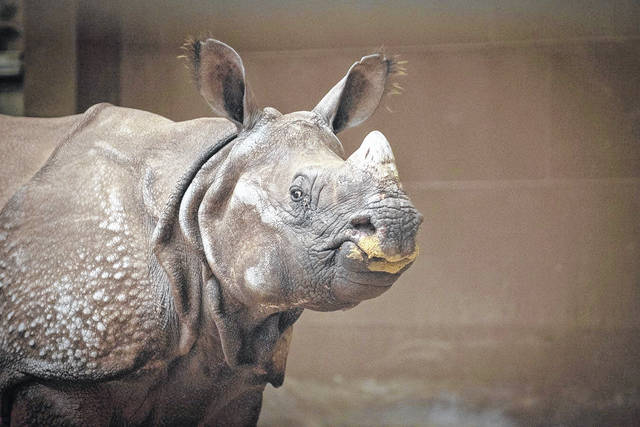 A greater one-horned rhino named Brian arrived at the Columbus Zoo and Aquarium on April 9 and was introduced to visitors Saturday.