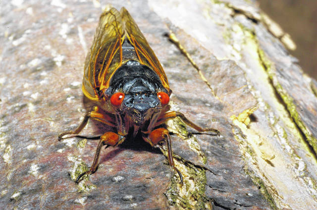 """Andrew Zimmern, creator of the Travel Channel's """"Bizarre Foods"""" franchise, said cicadas have a bold flavor. """"They're earthy, loomi (sour),"""" he said. """"They've been living in the ground for 17 years — kind of like the taste of the forest floor. It's a strong taste, but not in a bad way. It stands up to the big flavors of garlic and ginger."""""""