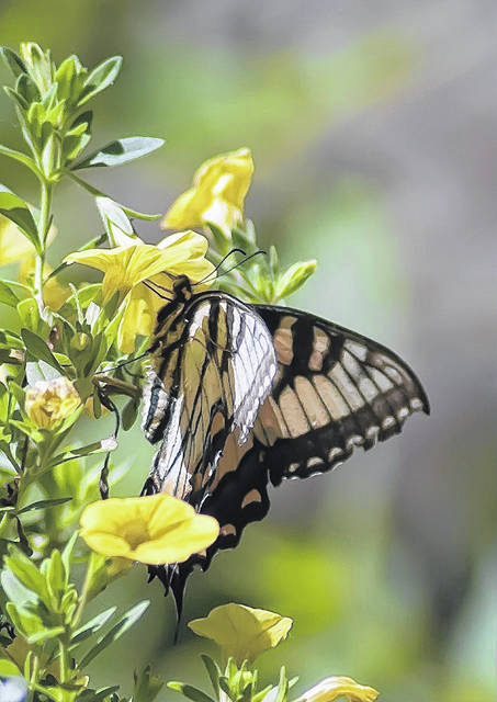 This Eastern Tiger Swallowtail likes yellow too as it visits Superbells Yellow calibrachoa. Norman Winter/TNS