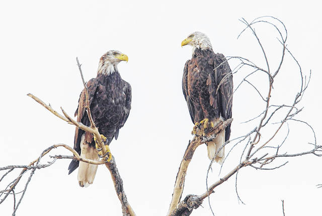 """Two bald eagles sit perched on a tree. """"Those broken-off branches from when the tornadoes came through a couple years ago provide a lot of wonderful perches where the eagles like to sit,"""" Jim Weller, founder of the Eastwood Eagle Watchers, said."""