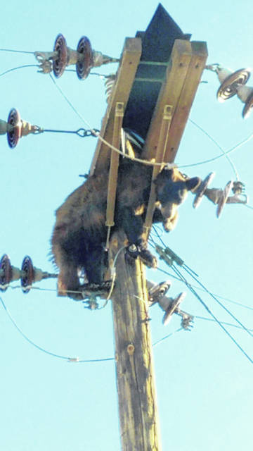 This photo provided by Werner Neubauer shows a bear tangled in power pole wires Monday in Willcox, Ariz.