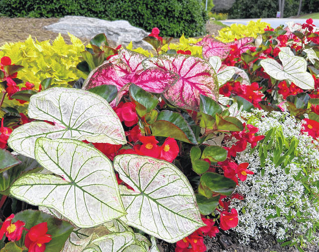 Heat to Heart Caladiums turn the usual into extraordinary with their color and tropical texture. Heart to Heart Snowdrift, Heart to Heart Bottle Rocket Surefire begonias, Diamond Snow euphorbias with a touch of golden lime coleus create a festival of color.