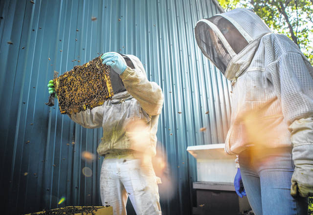 Honey bees buzz around beekeepers Tom Millis, left, and Elsa Stuart as they inspect one of the hives in their backyard apiary, called Millis Meadows, on June 12 in Des Peres, Missouri.