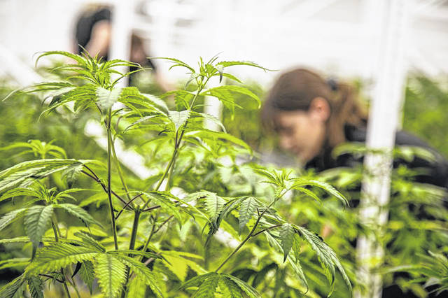 Buckeye Relief's 25,000-square-foot facility in Eastlake has been growing marijuana since July 31, making their plants the oldest in the state of Ohio. Since then, they have planted every three weeks with the intention to eventually harvest every three weeks.
