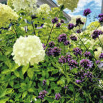 Panicle hydrangea partners only limited by your imagination