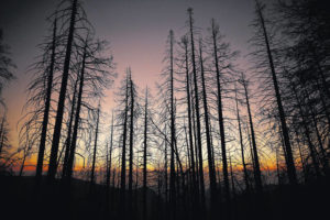 World's largest trees under siege from California wildfire as sequoias face new perils