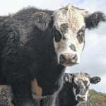 Beef Cattle School coming for October sessions