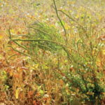Toxic weeds a hazard this season