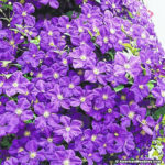 How to prune clematis: the basics