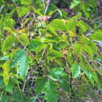 """Leaves of Three, Let it Be"": Poison Ivy, Poison Oak, Poison Sumac"