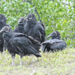 Protecting livestock from Black vultures